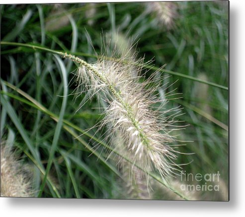 Adrian March Metal Print featuring the photograph Grasses 6 by Adrian March