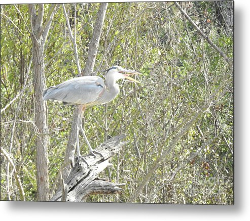 Great Heron With Mouth Open Prints Metal Print featuring the photograph Great Heron With Mouth Open by Ruth Housley