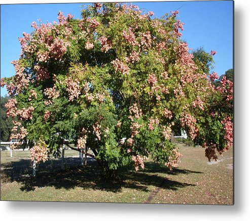 Tree Photo Metal Print featuring the photograph Green And Pink Tree Golden Rain Tree by Warren Thompson