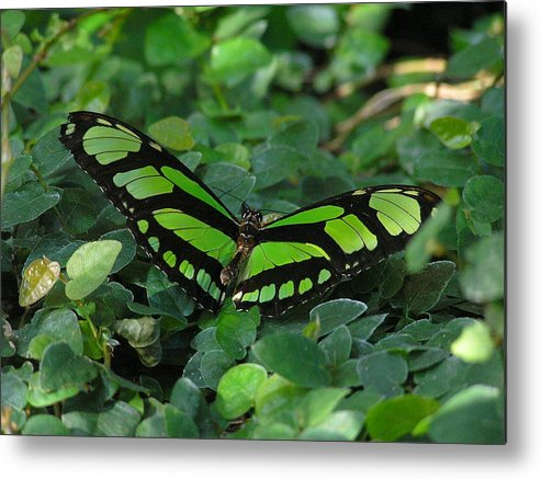 Green Metal Print featuring the photograph Green Butterfly by Louise Magno