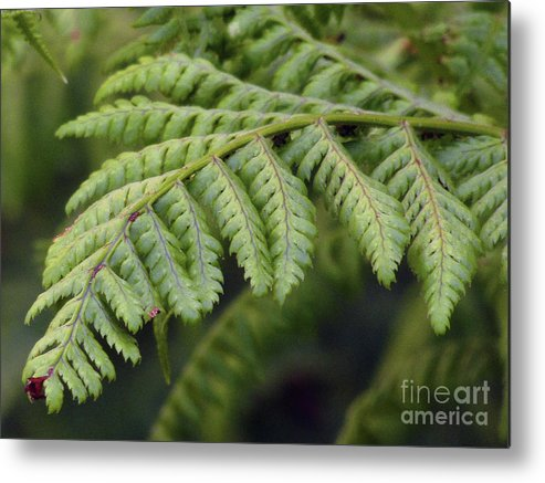 Fern Metal Print featuring the photograph Green Fern by Kim Tran