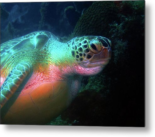 Green Sea Turtle Metal Print featuring the photograph Green Sea Turtle 1 by Pauline Walsh Jacobson