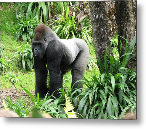 Gorilla Metal Print featuring the photograph Grumpy Gorilla IIi by Stacey May