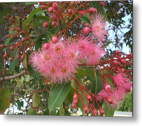 Gum Blossom Pink Green Flower Metal Print featuring the photograph Gum Blossom by Bethwyn Mills