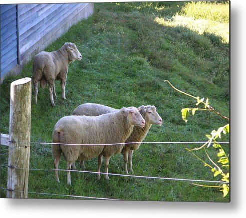 Sheep Metal Print featuring the photograph Hanging With The Boys by Peter Williams