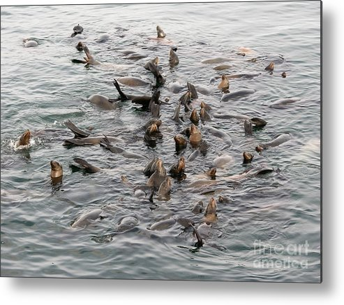 Metal Print featuring the photograph Happy Harbour Seals by Carol Groenen