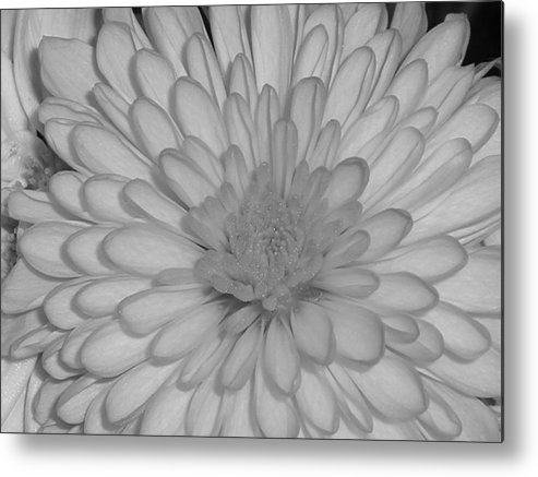 Flower Metal Print featuring the photograph He Loves Me He Loves Me Not by Stephanie Golden