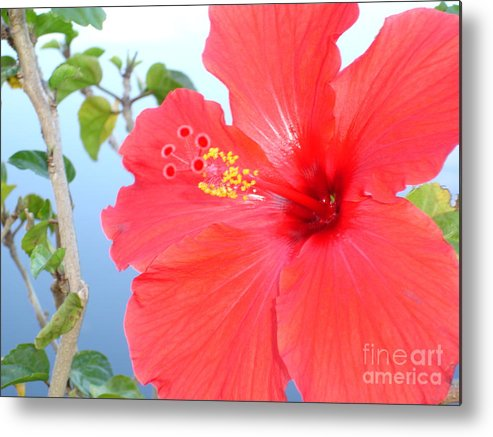 Flower Metal Print featuring the photograph Hibiscus At Full Bloom by Chad Natti