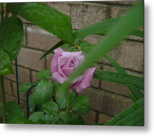 Rose Metal Print featuring the photograph Hidden Beauty by Jennifer Lynn Butler
