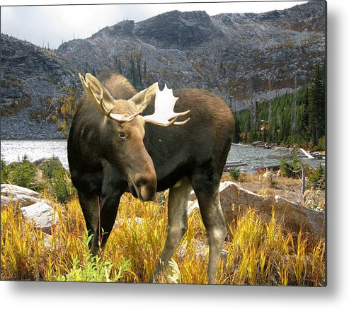Moose Metal Print featuring the photograph High Country Moose by Robert Bissett