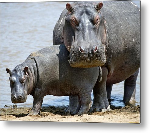 Hippo Metal Print featuring the digital art Hippo by Dorothy Binder