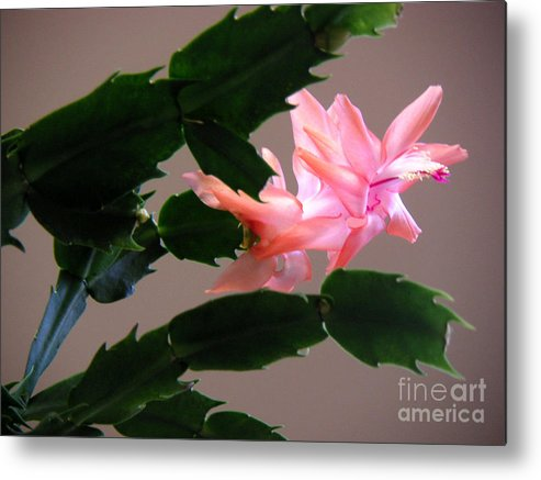 Nature Metal Print featuring the photograph Holiday Cactus - On Wings by Lucyna A M Green