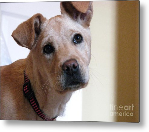 Dog Metal Print featuring the photograph Honey by Amanda Barcon