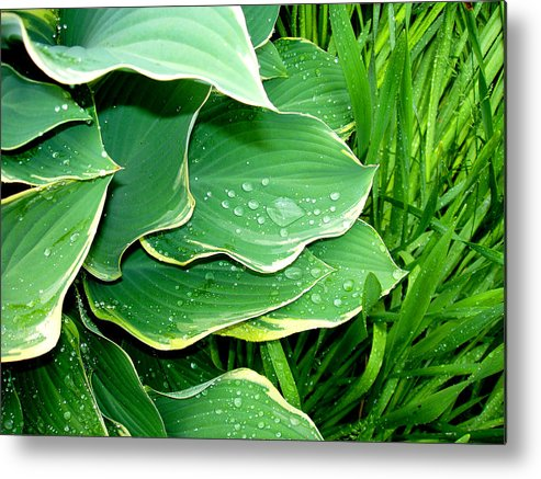 Hostas Metal Print featuring the photograph Hosta Leaves And Waterdrops by Nancy Mueller
