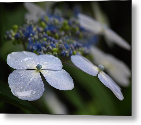 Flower Metal Print featuring the photograph Hydrangea Macrophylla by Juergen Roth