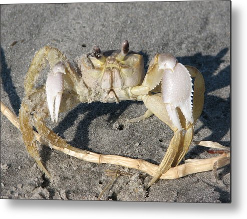Crab Metal Print featuring the photograph I Feel Crabby by Stacey May