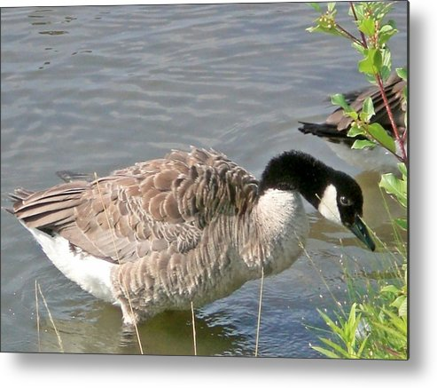 Goose Metal Print featuring the photograph I See Food by Sholeh Mesbah
