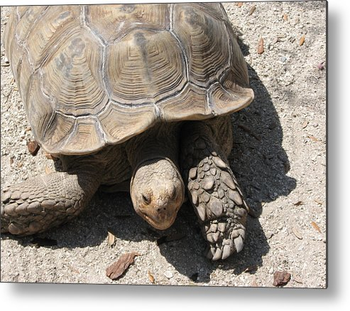 Turtle Metal Print featuring the photograph Im Moving by Stacey May
