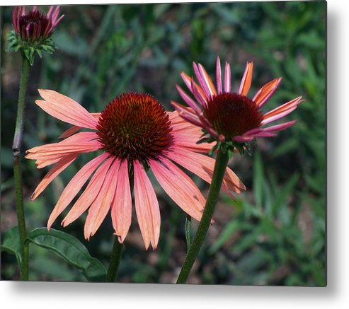 Coneflower Metal Print featuring the photograph Indigenous Beauty by Vijay Sharon Govender