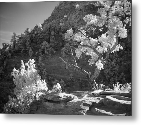 Pine Tree Metal Print featuring the photograph Infrared Photo Of A Twisted Pine Tree by Rikka-chan