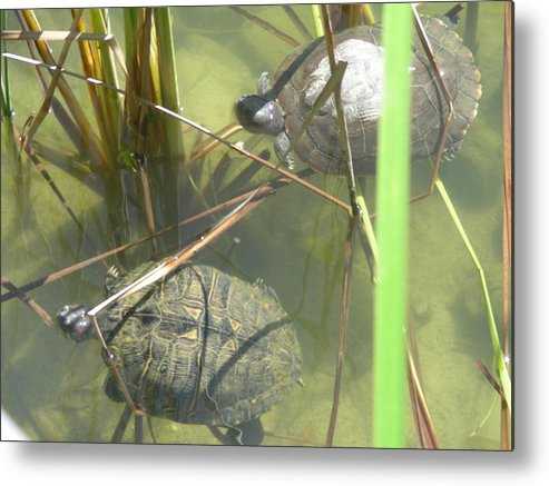Nature Metal Print featuring the photograph Jamaican Turtles by Peter McIntosh