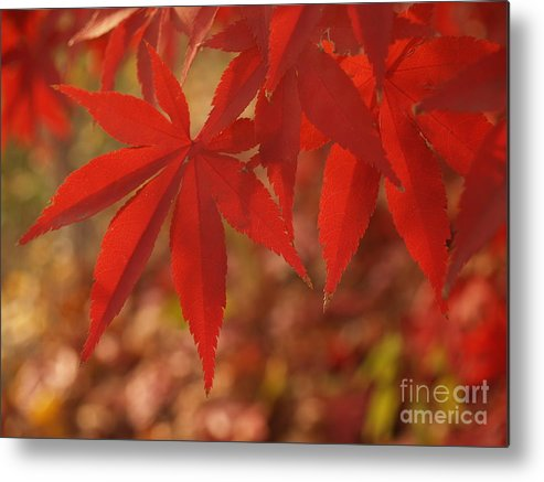 Leaf Metal Print featuring the photograph Japanese Maple In Afternoon by Anna Lisa Yoder