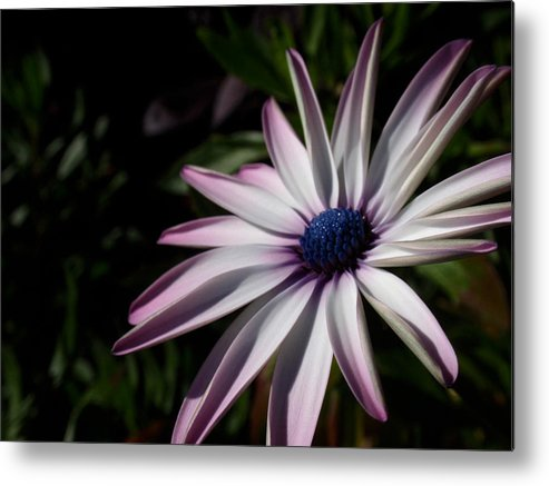 Black Eyed Susan Metal Print featuring the photograph Just Look by Edan Chapman