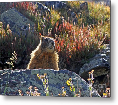 Marmot Metal Print featuring the photograph King Of The Mountain by George Tuffy
