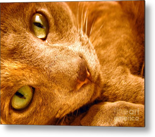 Cats Metal Print featuring the photograph Kitty by Amanda Barcon