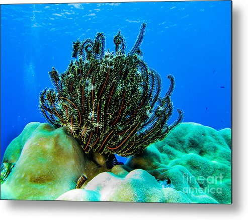 Coral Metal Print featuring the photograph Kosrae Crinoid by Dan Norton