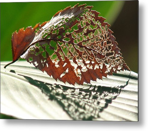 Leaf Metal Print featuring the photograph Lacy Leaf by Kevin Callahan