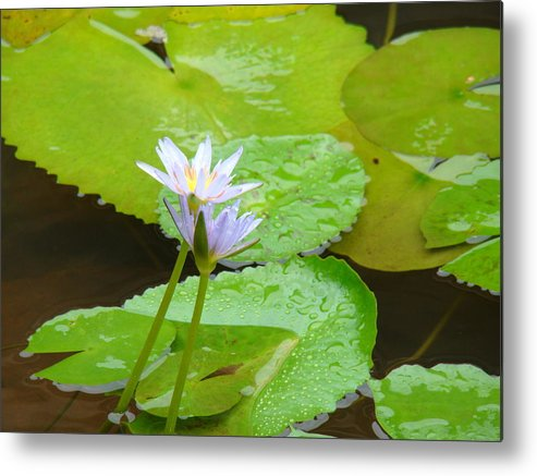 Water Lily Metal Print featuring the photograph Lily-2 by Reshmi Shankar