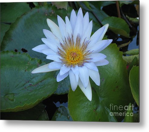 Flower Metal Print featuring the photograph Lily White by Stephanie Richards