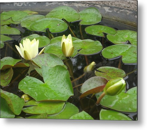 Lilypad Metal Print featuring the photograph Lilypad by Angela Siener