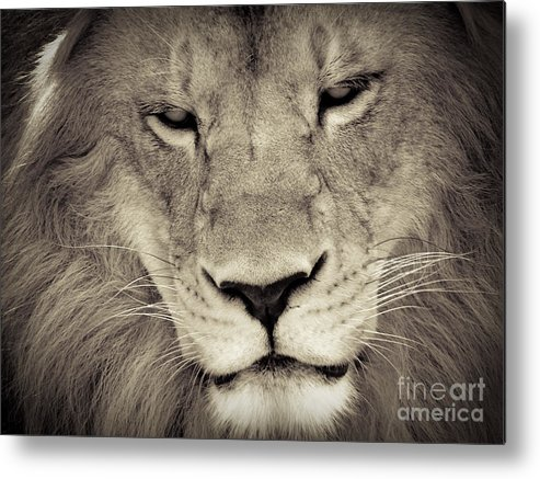 Lion Metal Print featuring the photograph Lion by Tonya Laker