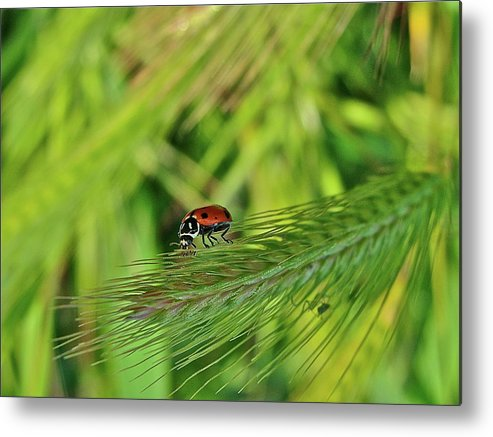 Ladybug Metal Print featuring the photograph Little Lady by Diana Hatcher