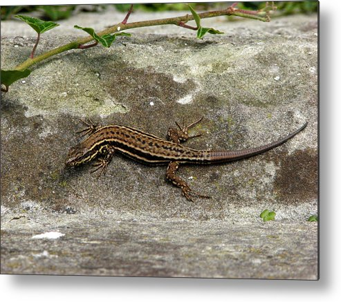 Reptile Metal Print featuring the photograph Lizard Tanning by Andrea Arnold