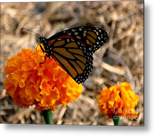 Butterfly Metal Print featuring the photograph Magnificent Monarch by PJ Cloud