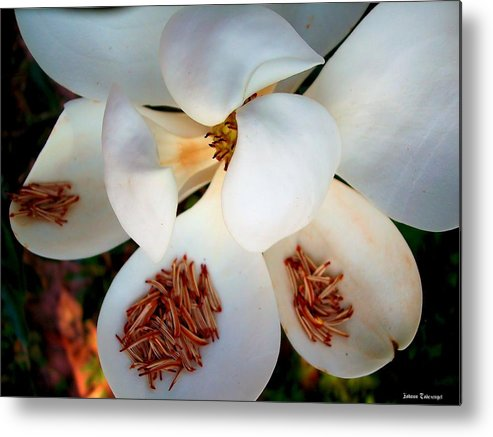 Nature Metal Print featuring the photograph Magnolia Blossom by Johann Todesengel