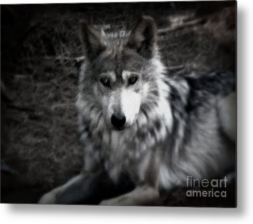 Black And White Metal Print featuring the photograph Mexican Gray Wolf by Emily Kelley