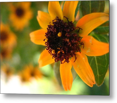 Flower Metal Print featuring the photograph Mini Sunflower by Melissa Parks