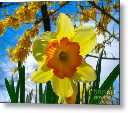 Daffodils Metal Print featuring the photograph Miss D Encore by Mioara Andritoiu
