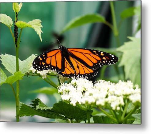 Monarch Butterfly Metal Print featuring the photograph Monarch Butterfly by Cynthia Woods