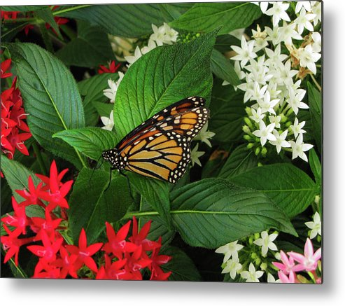 Olbrich Metal Print featuring the photograph Monarch Framed by Jessica Killingbeck