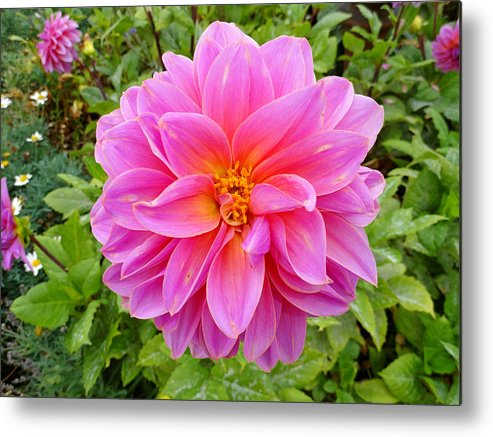 Dahlia Metal Print featuring the photograph Monterey Pink by Robert Meyers-Lussier