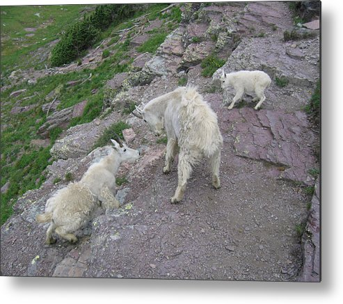 Metal Print featuring the photograph Mountain Goats by Diane Wallace