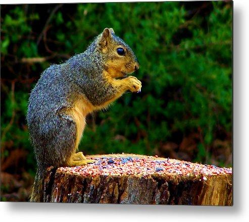 Squirrel Metal Print featuring the photograph Munchin by Karen Scovill