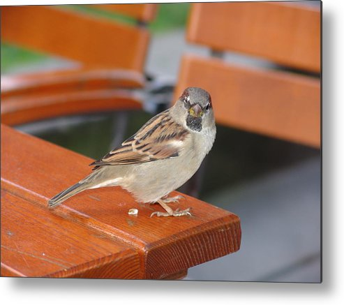 Sparrow Metal Print featuring the photograph My Little Friend In Berlin by Kevin Callahan