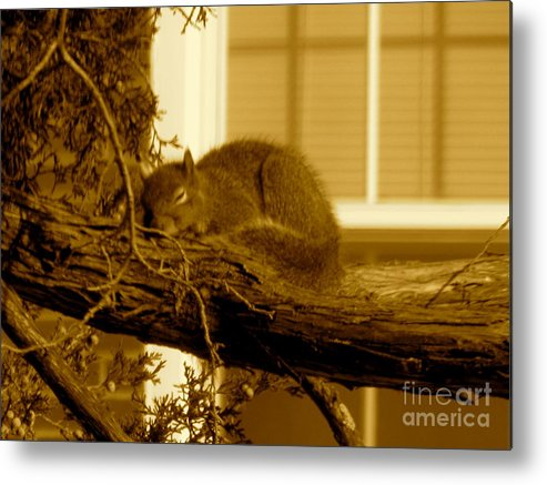 Squirrel Metal Print featuring the photograph Naptime In The Sun by Sherri Williams