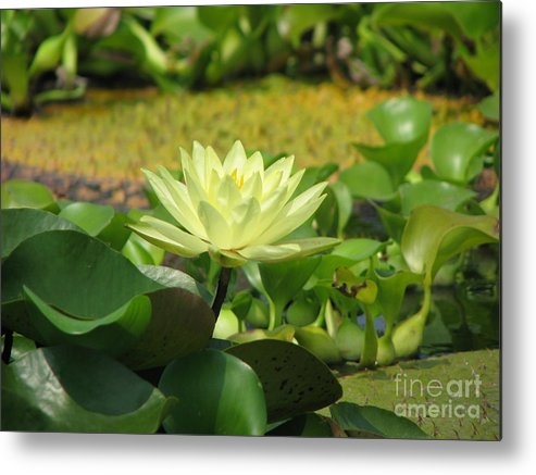 Nature Metal Print featuring the photograph Nature by Amanda Barcon